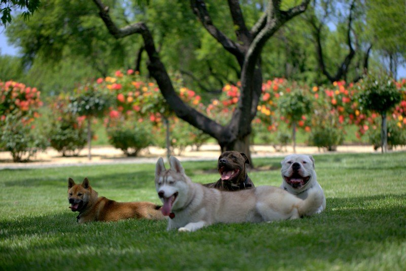 Dogs on a lawn-image.