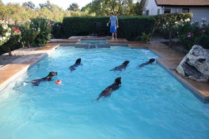 swimming dogs image