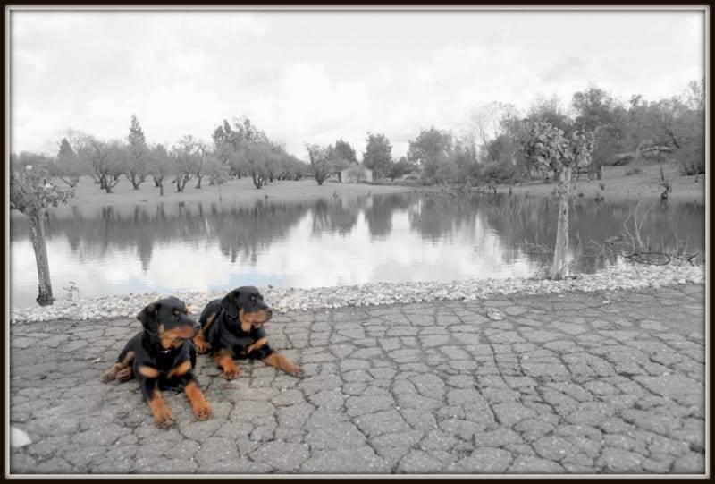 Rottweiler puppies image