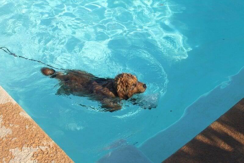 teaching your dog to swim image