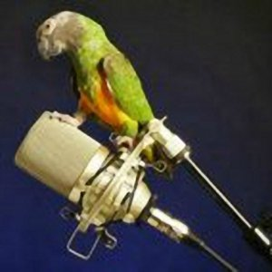 senegal parrot standing on studio microphone