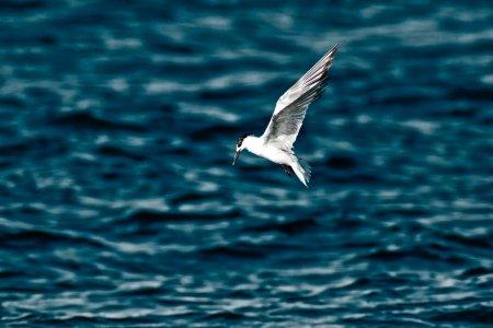 Arctic Tern over water