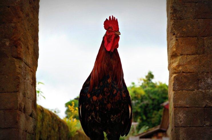 rooster_penglipuran