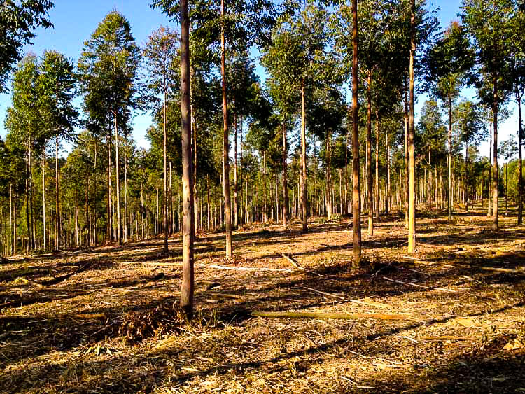 """Thinned, pruned & mulched 4 year old Spotted Gum & Gympie Messmate plantation, planted April 2008, """"Bloodwood"""" property."""