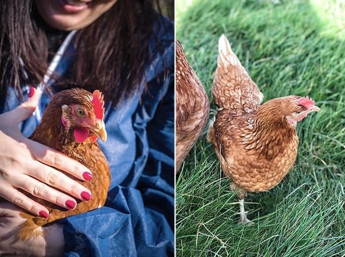 Happy hens lay happy eggs