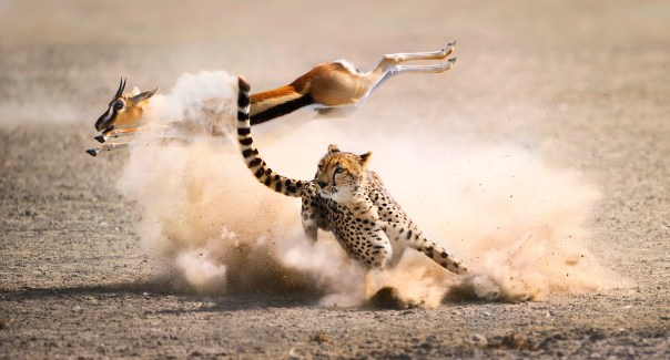 Picture Shows: A last second leap saves a Thomson's gazelle from a cheetah's trip. Cheetahs are the fastest land animals on the planet, reaching top speeds of almost 60mph when chasing their prey. However, the success or failure of a hunt is determined both by the cheetah's speed, and also by how well it can match the twists and turns of its prey; this one has been out maneuvered.
