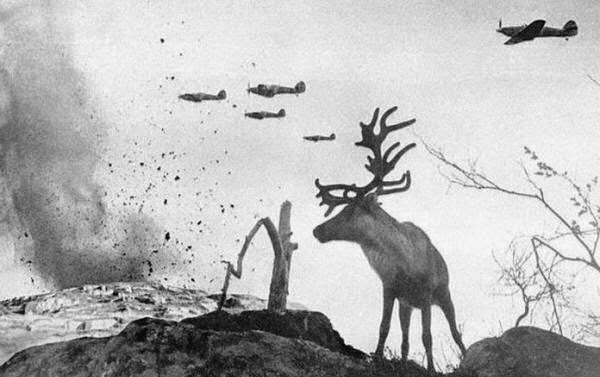 Ren geyiğinin biri Rusya'yı bombalıyan bombardıman uçaklarını seyrediyor. 1941.