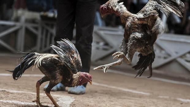 Hayvanları koruma derneğinde horoz dövüştürdüler!