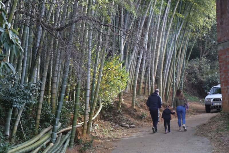 25 yil once gurcistandan getirip artvine diktiler buyuyen bambular ilgi odagi oldu 0 - 25 yıl önce Gürcistan'dan getirip Artvin'e diktiler! Büyüyen bambular ilgi odağı oldu