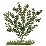 Medicinal plant, Iraq, late 14th century. Click for larger image.