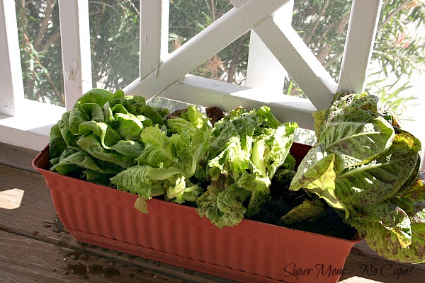 Lettuce growing in Container