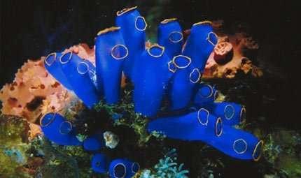 Corallo: pericolo bracconieri
