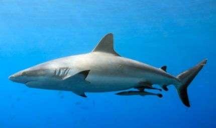 In Giappone nessuna tutela per gli squali
