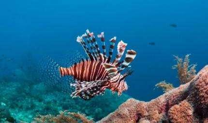 Brasile, il Pesce Scorpione minaccia la barriera corallina
