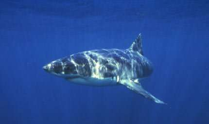 A caccia con lo squalo bianco