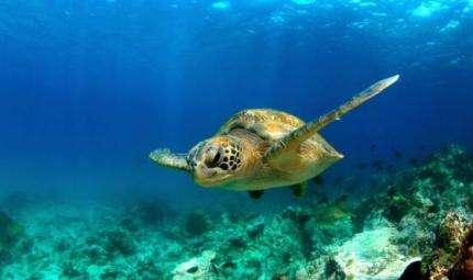 Anche le tartarughe sono a rischio MDD