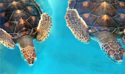 Migliaia di tartarughe a rischio