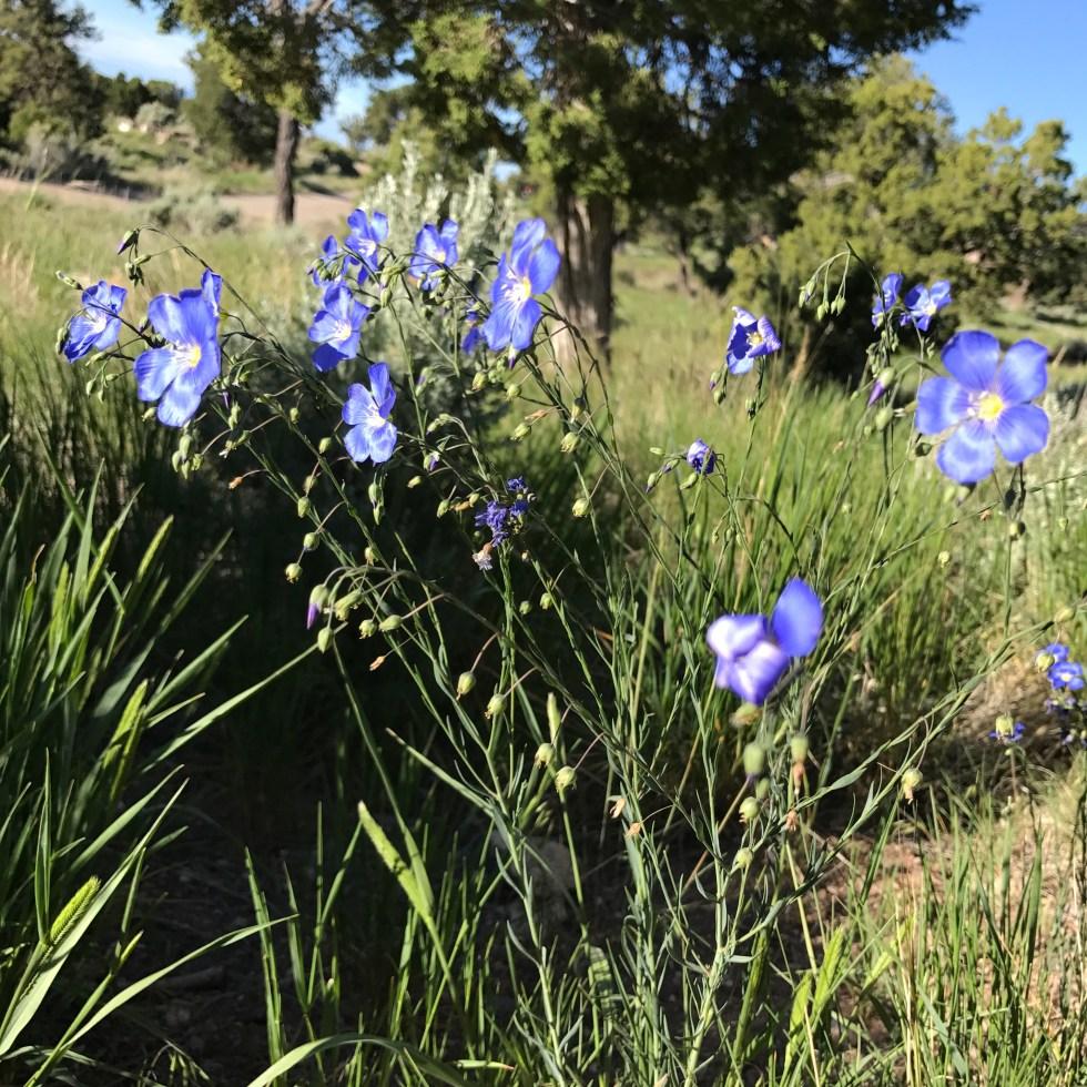 Wildflowers At El Aguaje CG