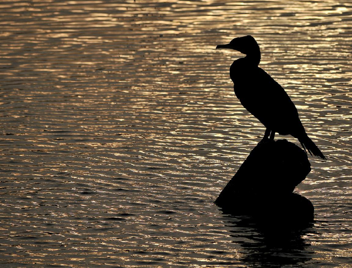 Fascia di Rispetto – Cormorano
