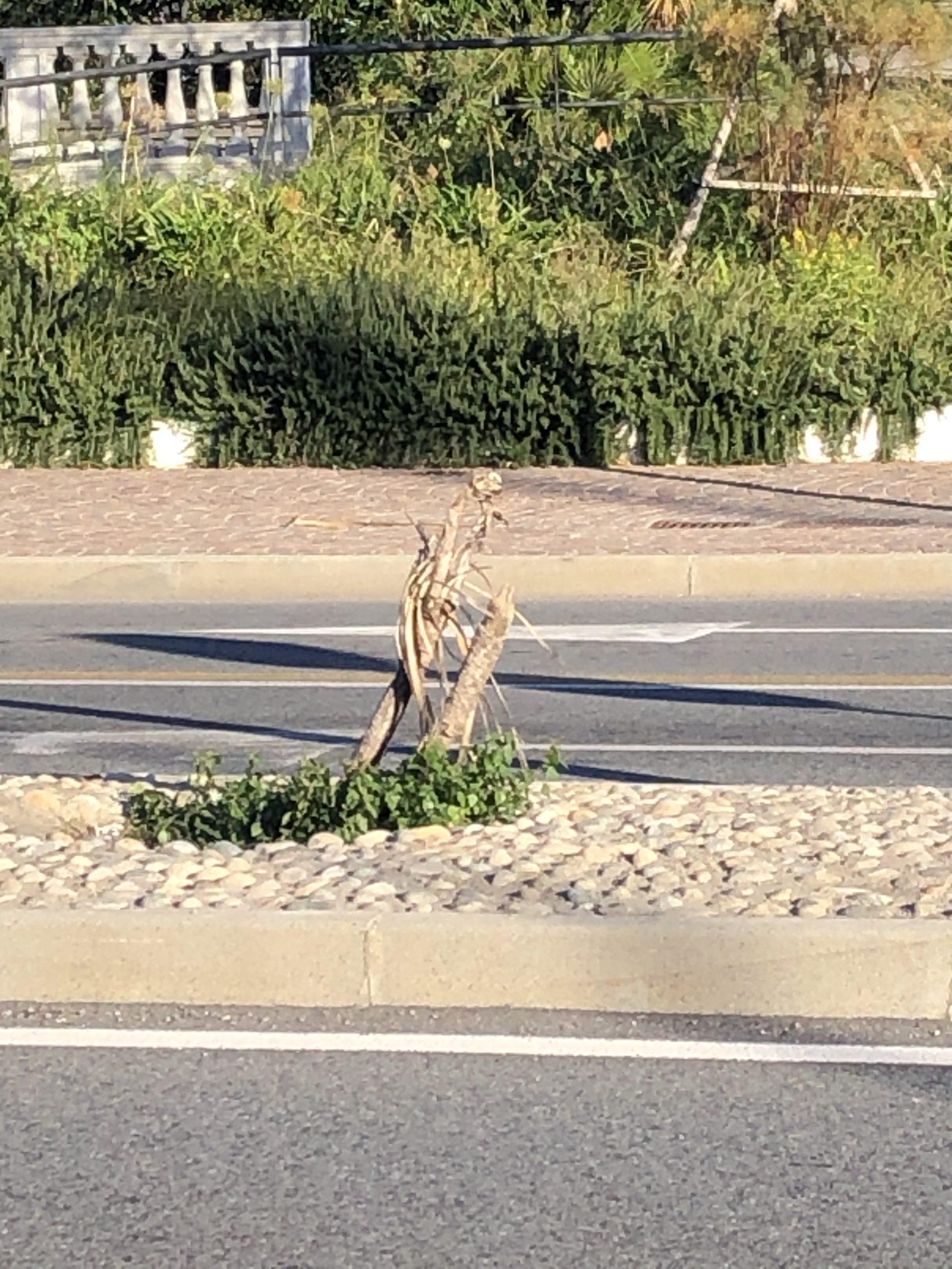 Palmetta morta spartitraffico via Pra' di fronte a giardini piazza Bignami