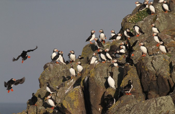 Isle of May  Auks   Three Amigos Birding Puffins  Isle of May  18 May 2017
