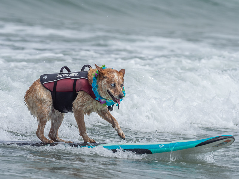 World Dog Surfing Championships - The Ultimate Surf Dog