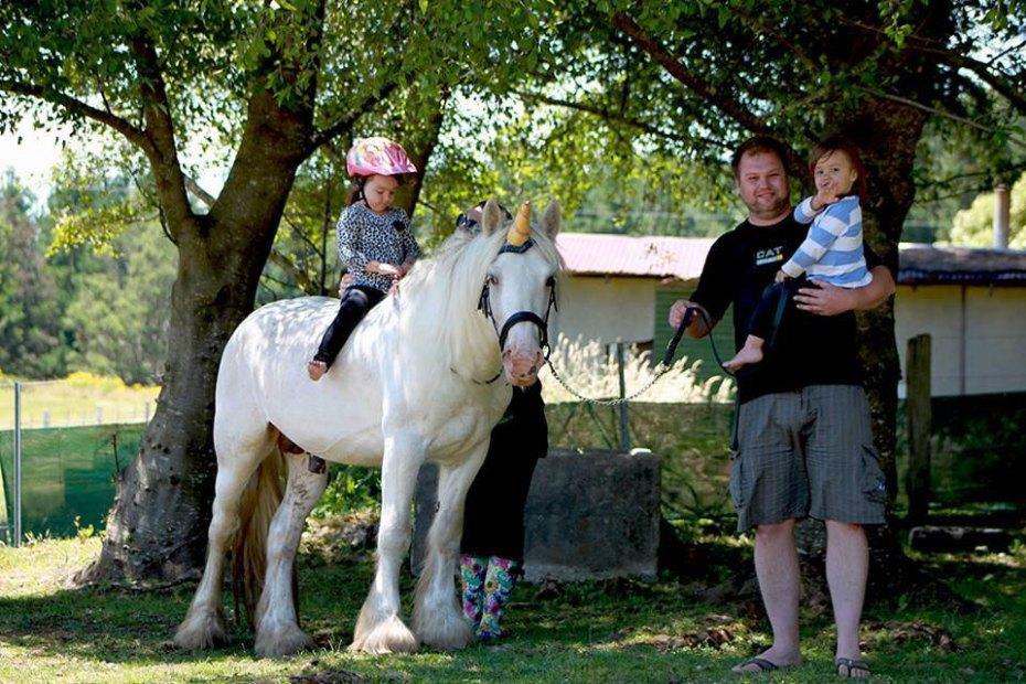 Palomino Gypsy Cob stallion VIC Australia