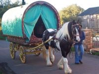 Homozygous Gypsy Cob mare Ivy pulling a Bowtop wagon in the UK before we imported her to Australia