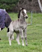 Gypsy Cob filly VIC Australia for sale