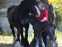 Black Gypsy Cob mare Leah with her colt Thunderstruck at Surrey Springs stud Australia