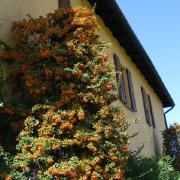 15-villa-lonati-fronte-est-con-pyracantha