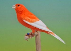 Kegunaan serta Langkah Pemberian Jangkrik untuk Burung Kenari