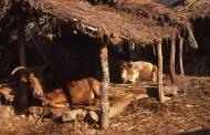 दुध ख्वाउने किसान भन्छन्, 'बिपी कोईरालालाई यसकारण सधैं गाईकै दुध चाहिन्थ्यो..'