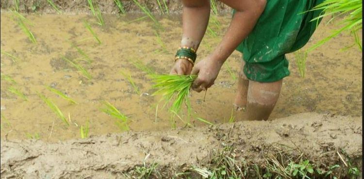 आकाशको पानी कुर्दै किसान, एघार प्रतिशतमात्रै रोपाइँ