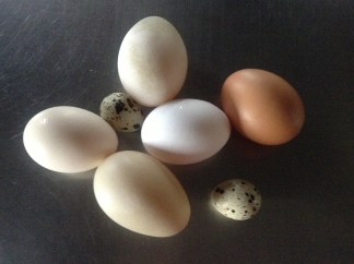 duck, hen, goose and quail eggs