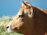 Cows at the Mont Cenis pass (4)