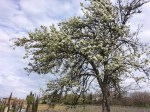 the old almond tree