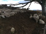 Post prandial sheep in their summer pastures in the mountains of Abruzzo.