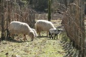 Our sheep kept the grass cut in the vineyards as well as supplying us with delicious lamb and milk