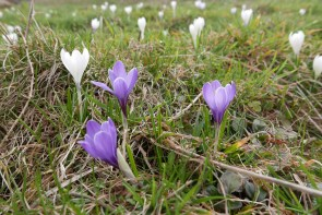 early spring in an alpine pasture