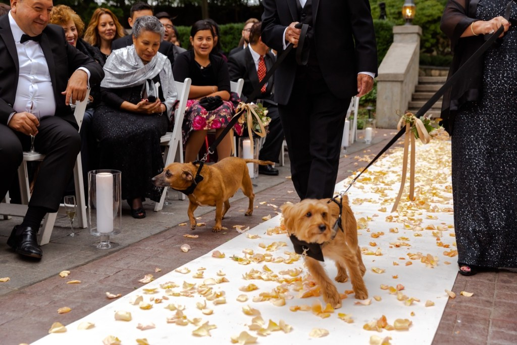 Two dogs carrying weddings rings during a wedding ceremony at the Tappan Hill Mansion.