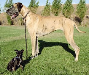 571px-Big_and_little_dog_1