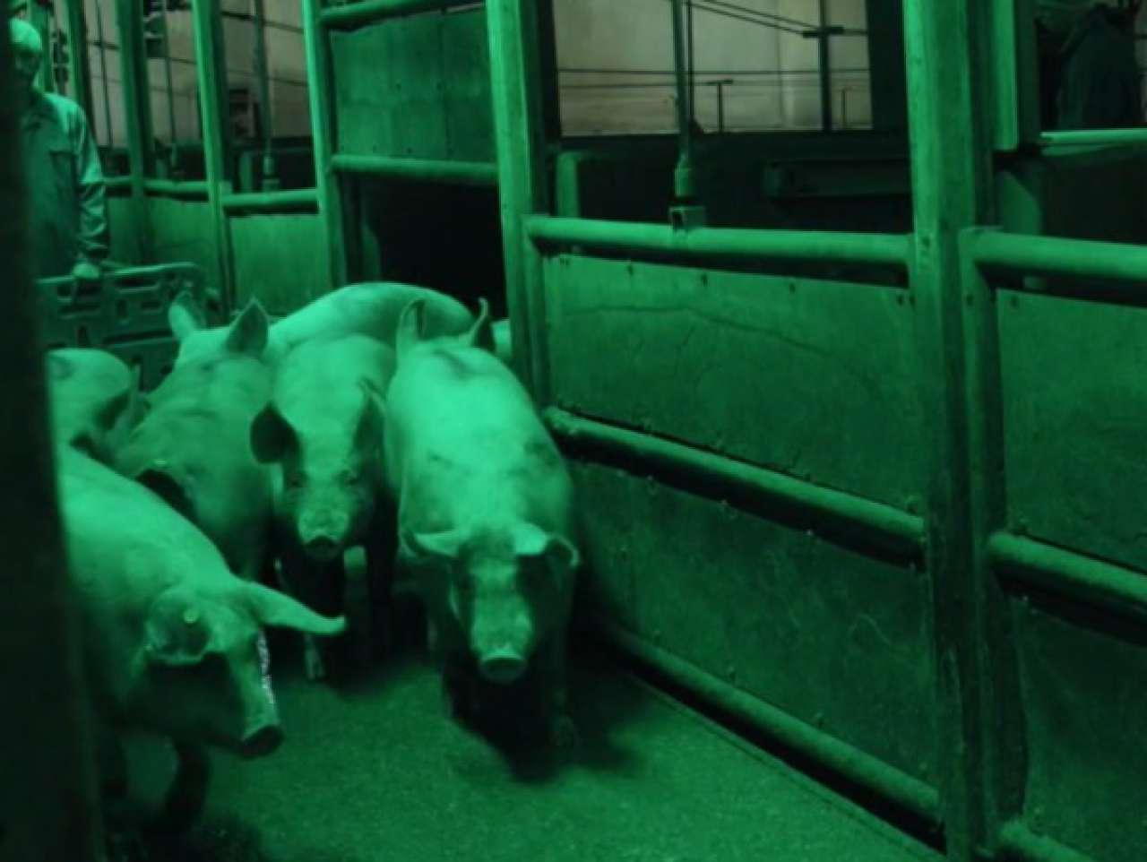 tonnies zeigt videos und bilder vom schlachten