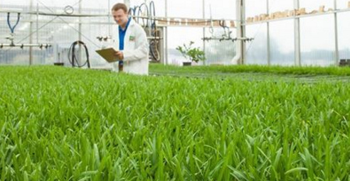 SCOTTS MIRACLE GROW DEVELOPING A GLYPHOSATE-RESISTANT GE TURF GRASS