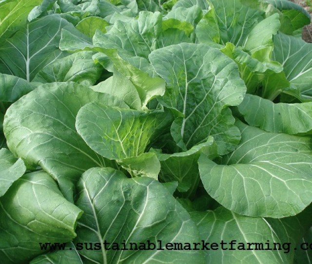 Asian Greens For December Pak Choy