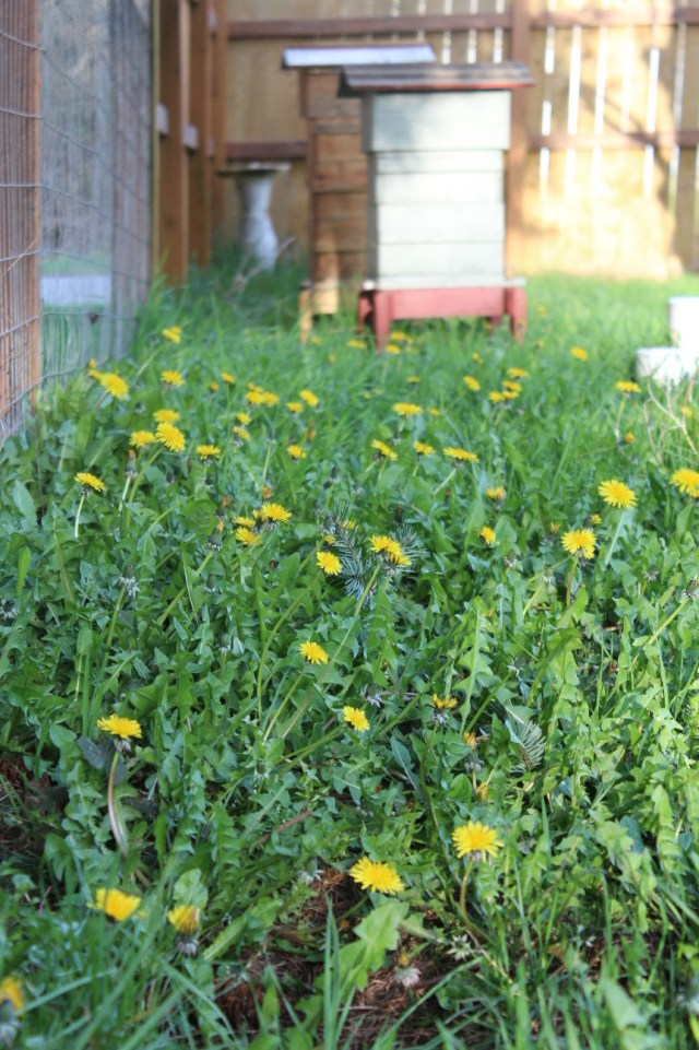dandelion-and-bee-hives