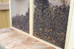 bees-enter-hive