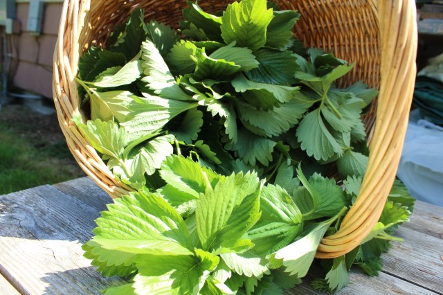 strawberry-leaf-in-harvest-basket