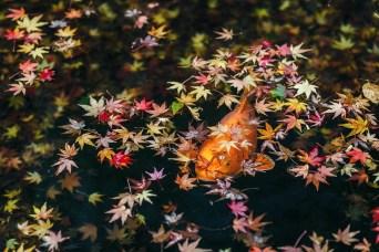 064 - Carpe Koi Momiji