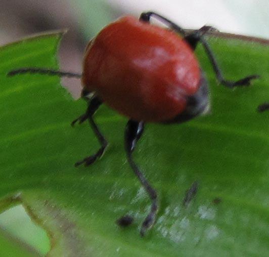 Red Lily Leaf Beetle